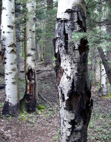 Sawmill Campground - Aspen trees - Disease or Lightning?